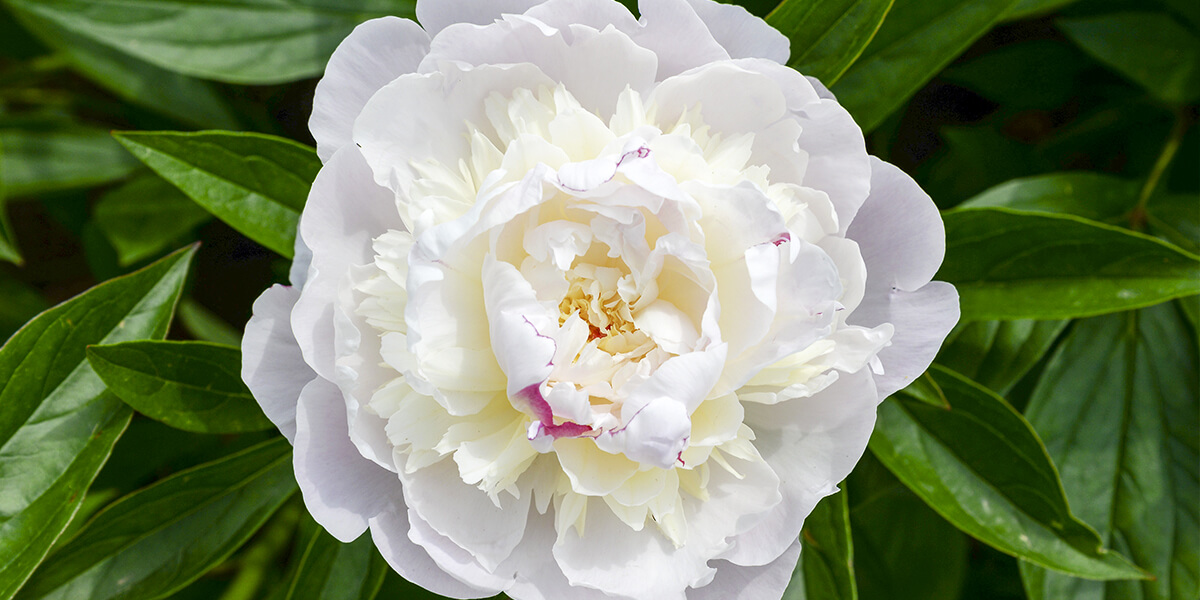 platt hill perfect peonies and care white peony bloom