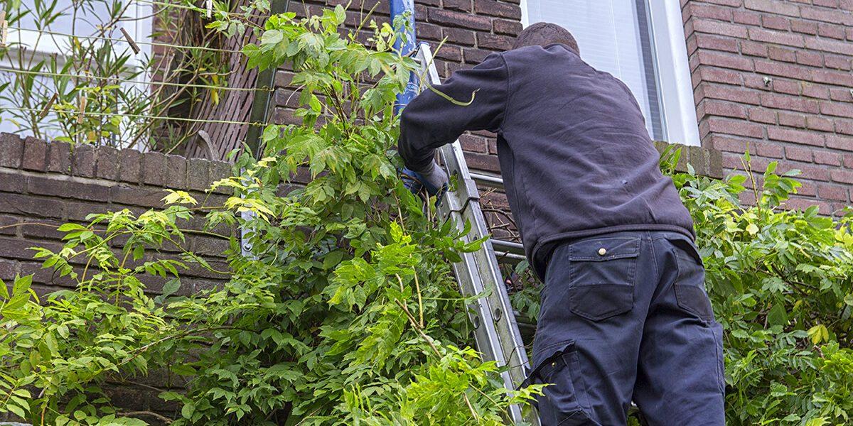 platt hill person on ladder pruning wisteria
