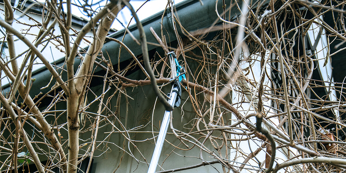platt hill pruning wisteria branches in winter