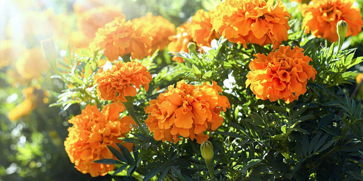 platt hill tips to extend bloom times marigolds in sun
