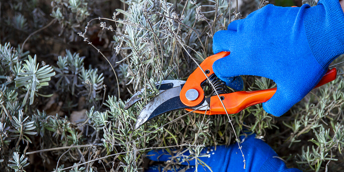 platt hill tips to extend bloom times pruning evergreen shrub