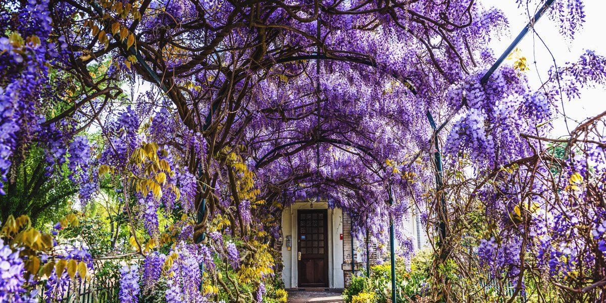 platt hill wisteria vine creating pergola tunnel