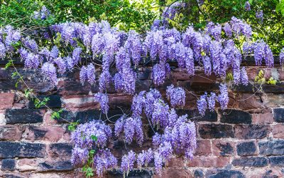 A Pruning Guide for Wisterias
