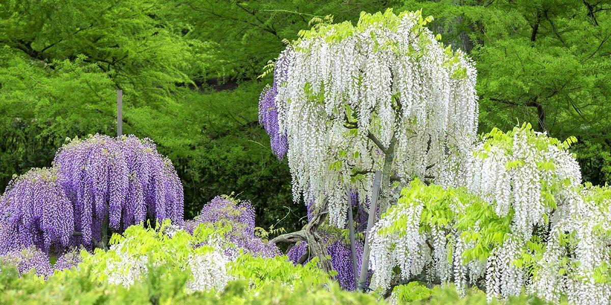 platt hill wisteria vines trimmed into tidy tree shapes
