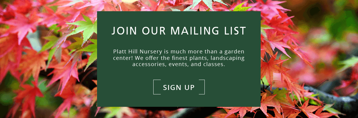 platt hill caring for japanes maple varieties leaves subscribe button