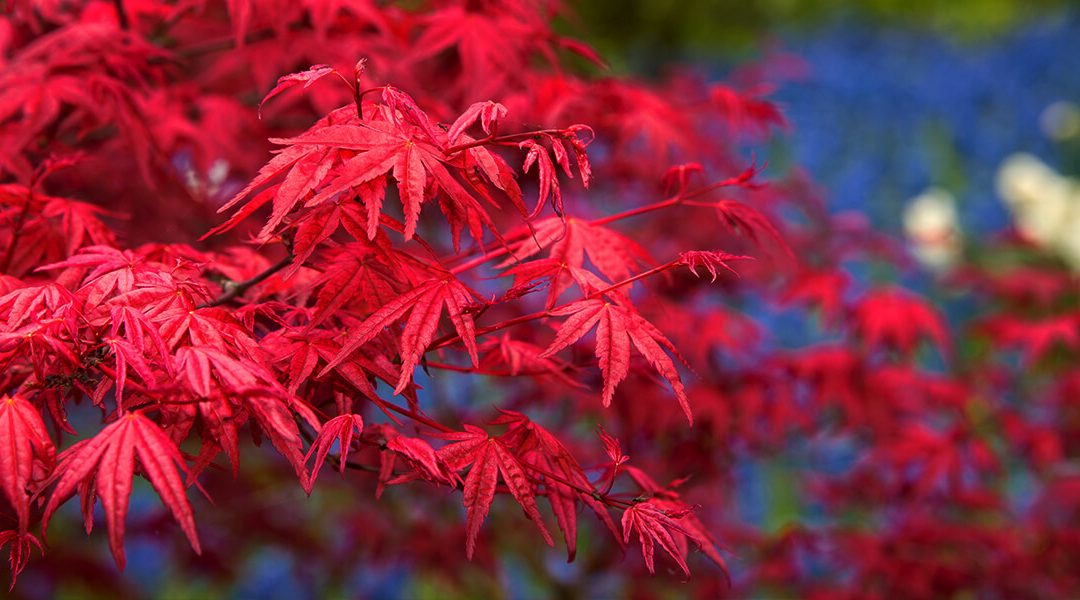 Choosing & Caring for Japanese Maples