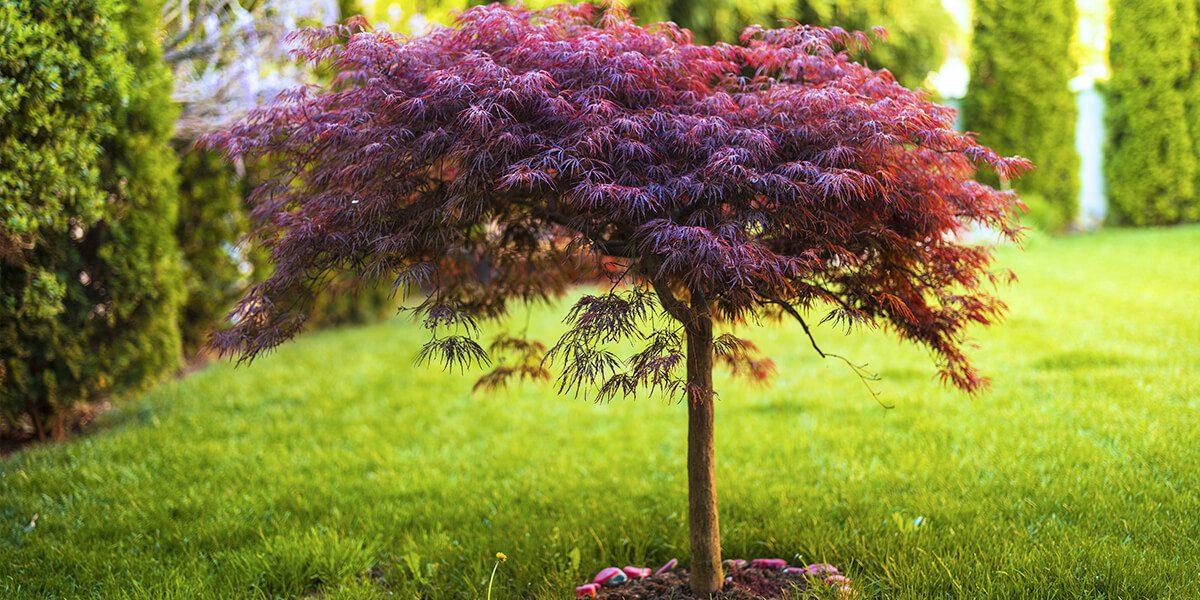 platt hill caring for japanes maples small pruned tree