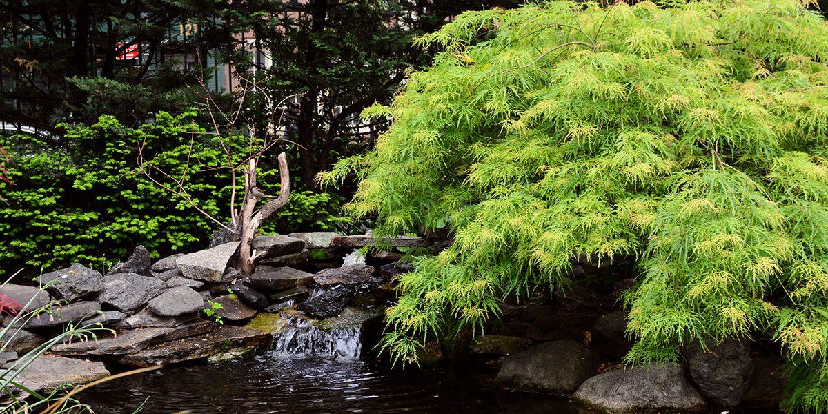 platt hill caring for japanes maples weeping green