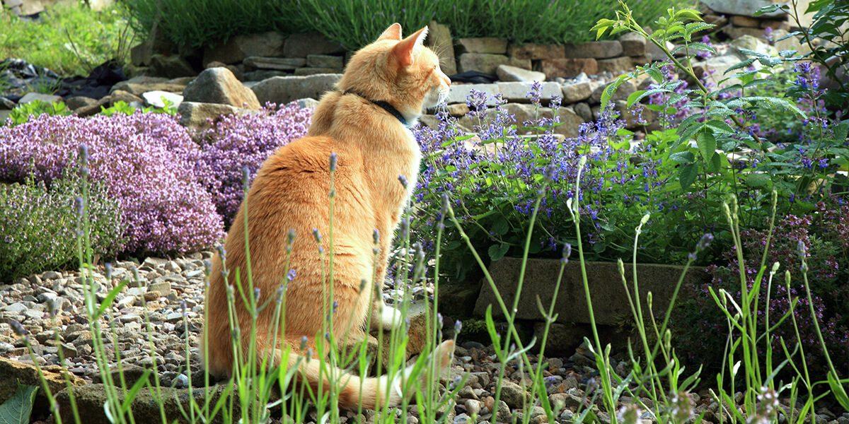 platt-hill-diy-catnip-ginger-cat-in-garden