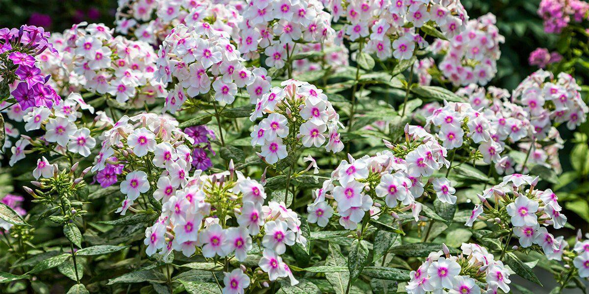 platt hill garden popular perennials white pink phlox