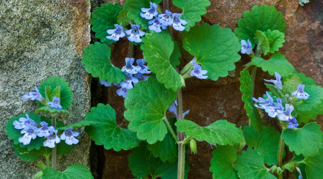 close up of creeping charlie plant that has grown through rocks platt hill nursery