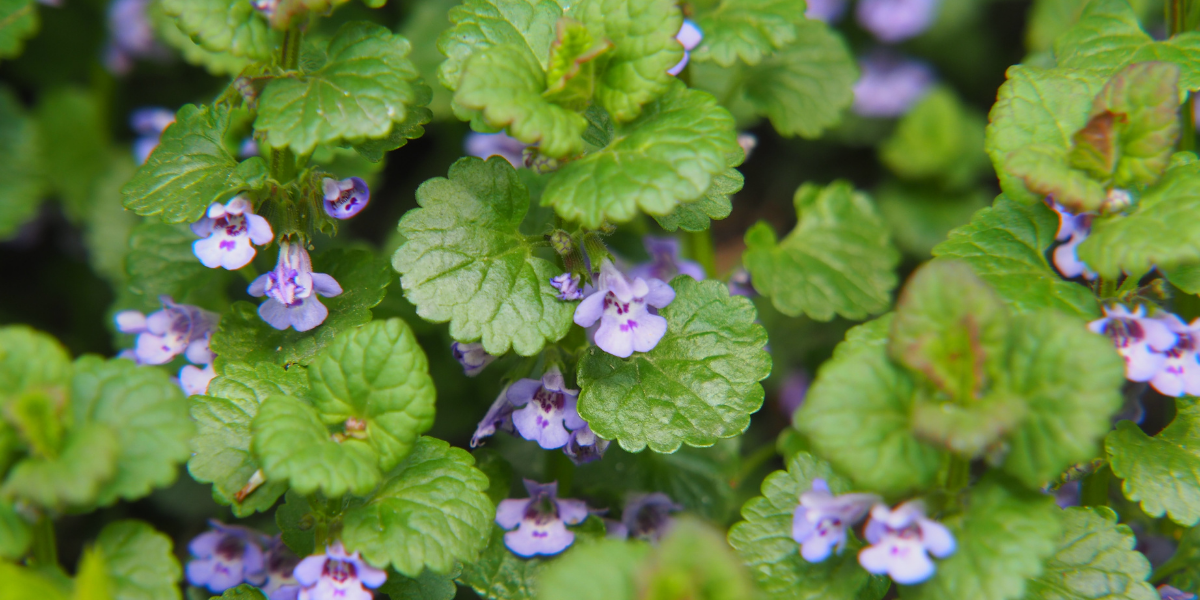 close up of creeping charlie plant that is purple and has been growing in a landscape platt hill nursery