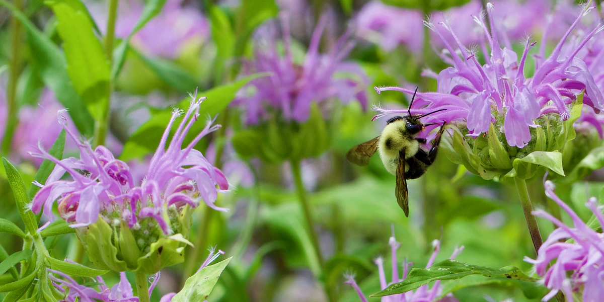 a bee on a bee balm plant in the summer time platt hill