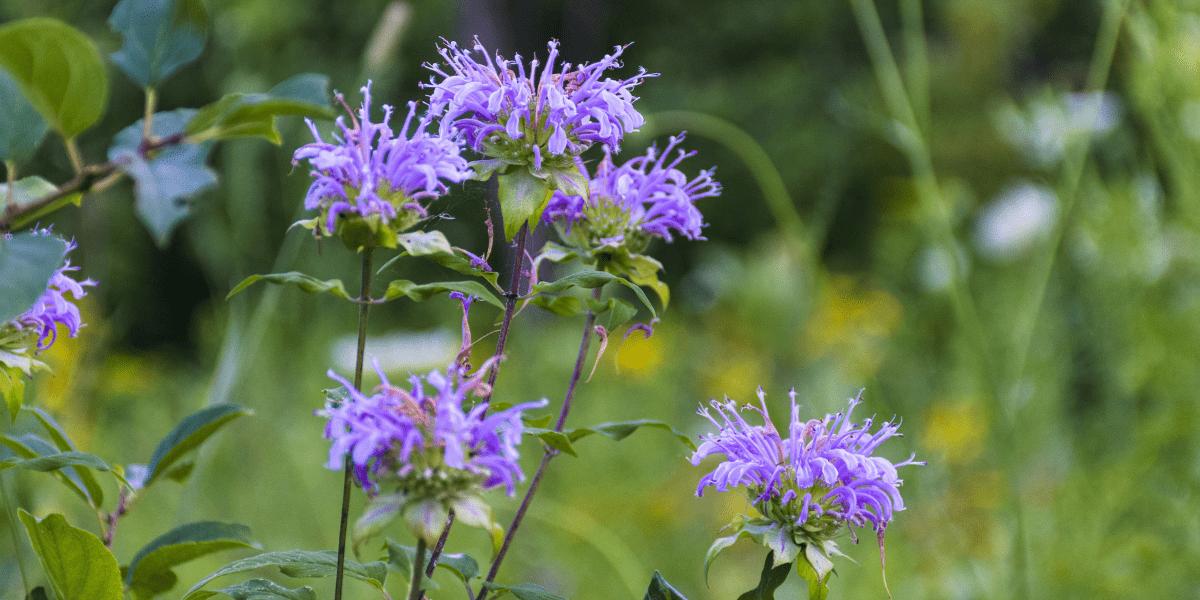 beautiful purple bee balm platt hill