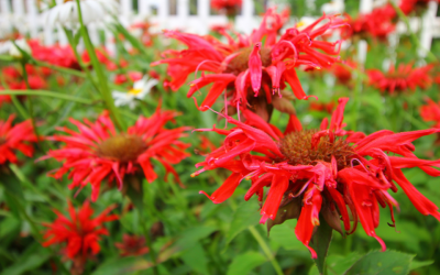 Beautify Your Garden with Bee Balm