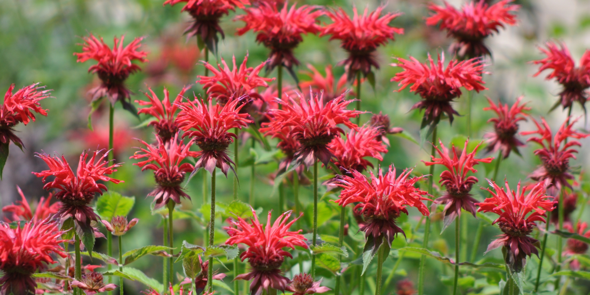 blooming bee balm in the summer time platt hill