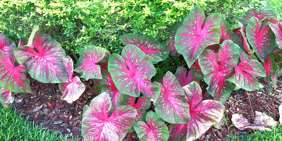 Platt Hill caladiums in garden Tender Bulbs vs Hardy Bulbs