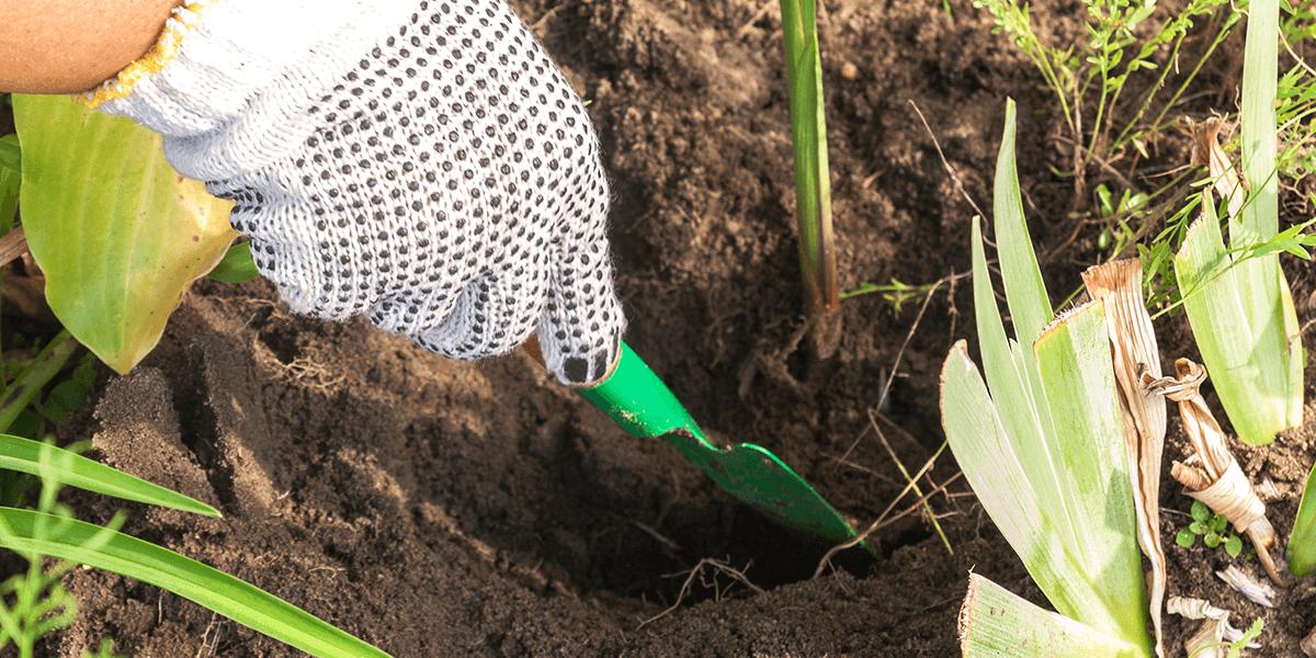 Platt Hill digging in garden Tender Bulbs vs Hardy Bulbs