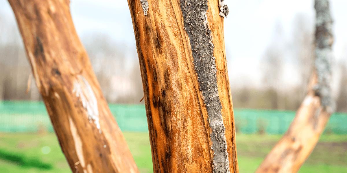 tree losing bark from disease Platt Hill Nursery
