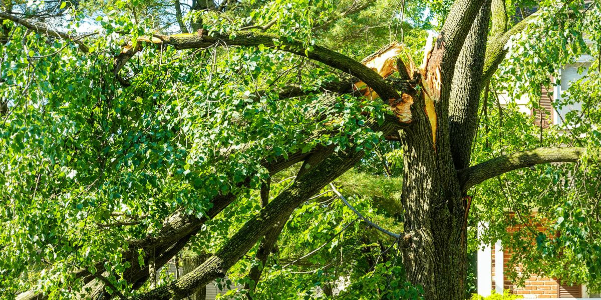 tree branch splitting broken limb Platt Hill Nursery