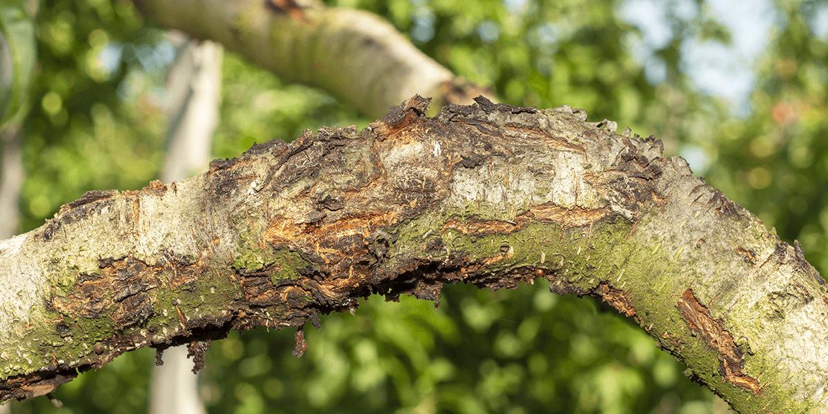 frost damaged split bark on tree Platt Hill Nursery