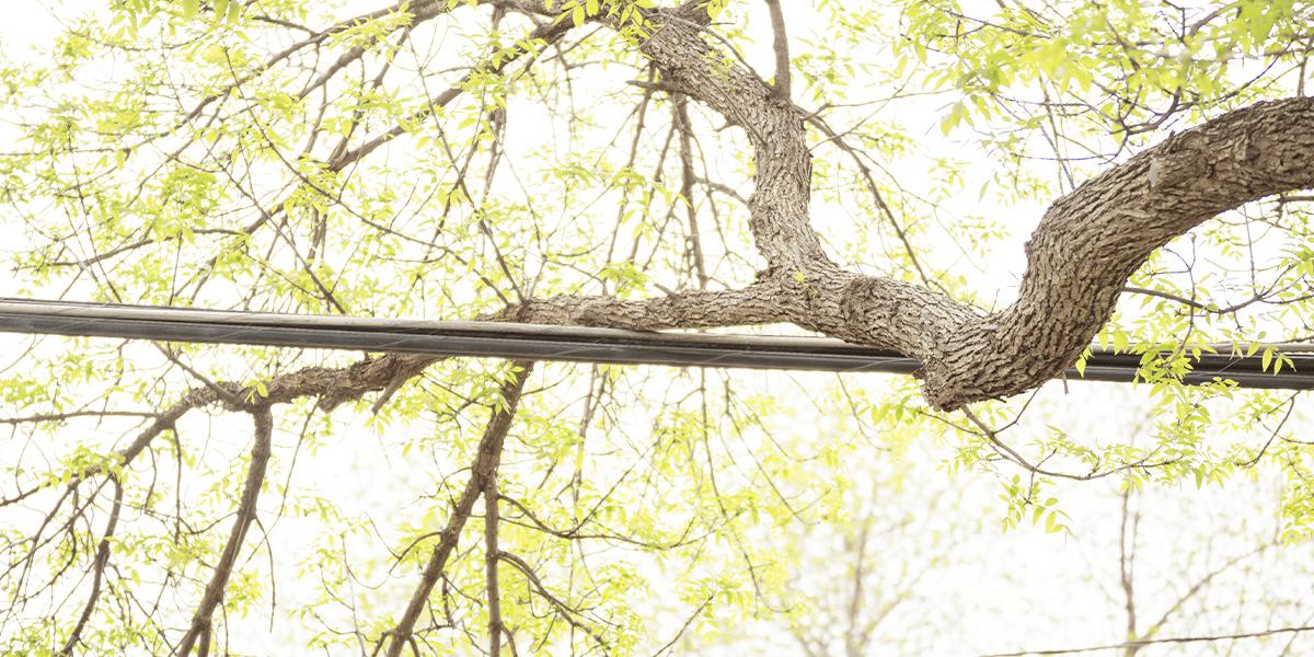 tree leaning on power lines Platt Hill Nursery