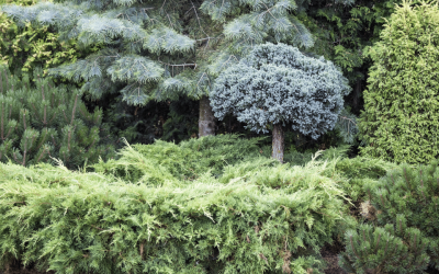 Go Green with Evergreens